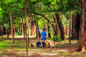 person walking multiple dogs in the woods