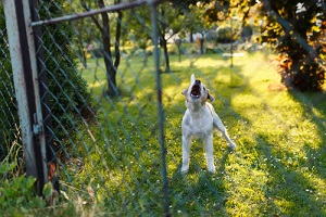 Dog Barking Near the Fence