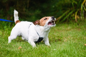 Small Dog Barking While Playing