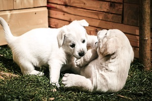 golden retriever puppies love playing and fast dog walking multiple dogs