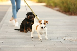 woman walking jack russell terrier and brussels griffon dogs in park