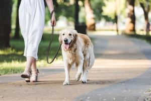 dog waking on leash next to owner